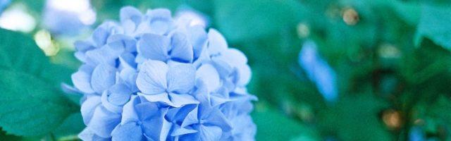 dreamdiary-Hydrangea