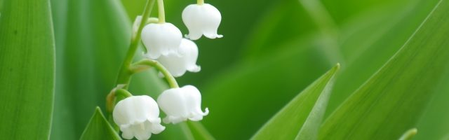 dreamdiary-Lily of the valley