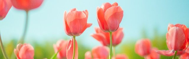 dreamdiary-Tulip
