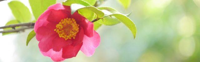 dreamdiary-camellia