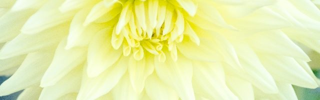 dreamdiary-chrysanthemum