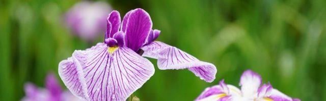 dreamdiary-iris