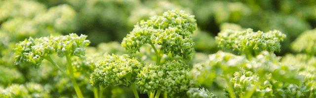 dreamdiary-parsley